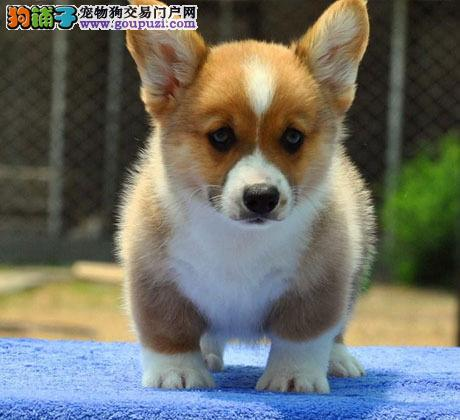 犬舍直销 高品质纯种威尔士柯基犬幼犬宠物狗出售3