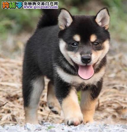 赛级双血统柴犬 纯种日本柴犬出售 北京可上门挑选