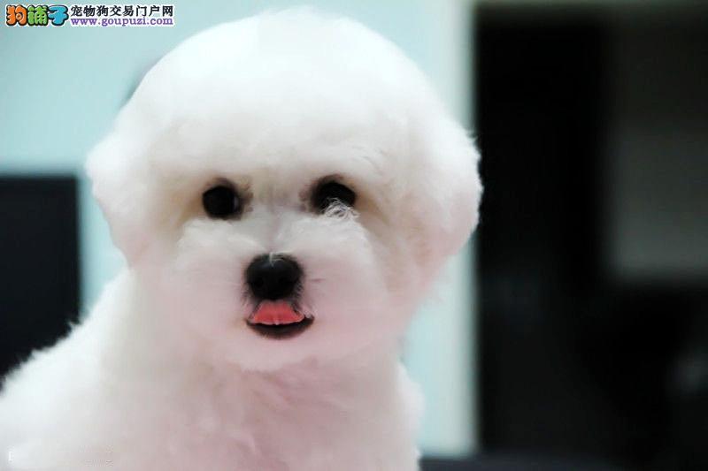 全国可售大眼睛甜美脸型法系小体大毛量纽扣眼比熊幼犬