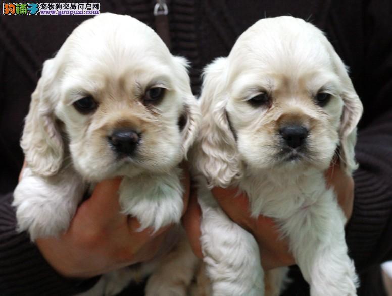 犬舍出售高贵可卡犬、保证纯种、健康、指导饲养幼犬1