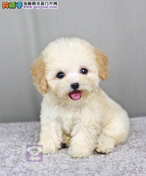 北京最大的泰迪犬基地出售超萌韩系小体泰迪 完美售后1