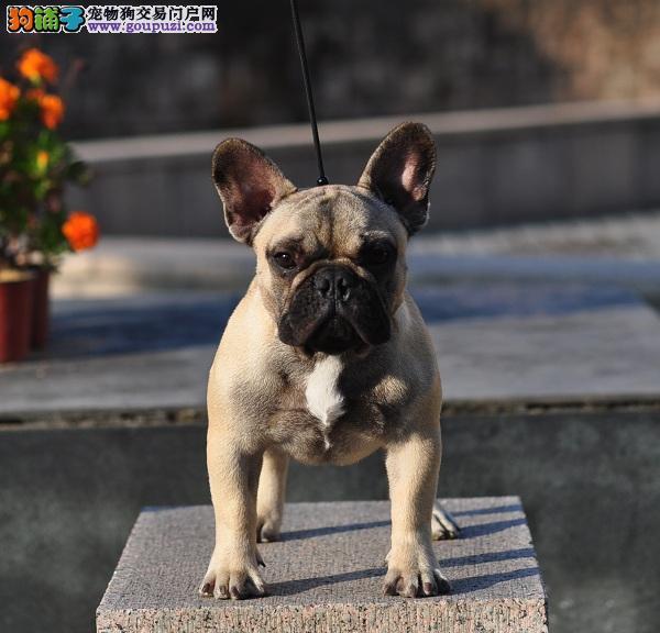 北京犬舍繁殖纯种法国斗牛犬 赛级双血统斗牛犬1