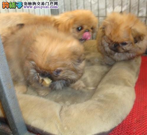 繁殖基地出售京巴幼犬 品相好纯种高品质