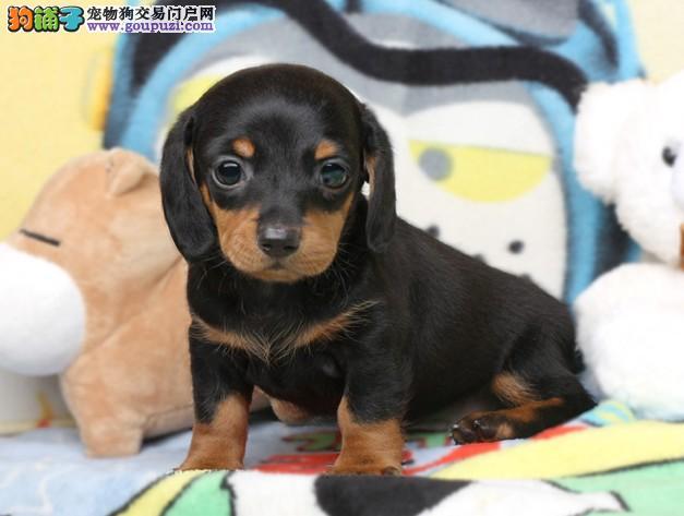 出售纯种腊肠犬 犬舍繁殖保证健康4