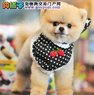 北京茶杯犬顶级韩版小体可爱茶杯泰迪博美茶杯犬3