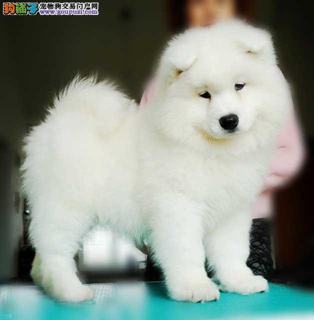 全国可售北京萨摩耶犬舍顶级微笑天使澳版大毛量萨摩1