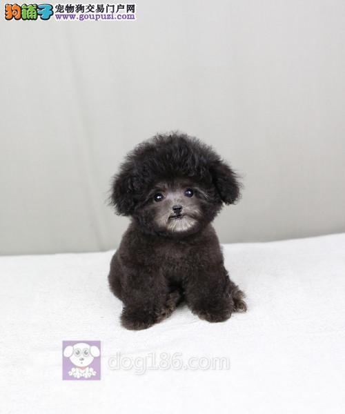 北京最大的泰迪犬基地出售超萌韩系小体泰迪 完美售后2