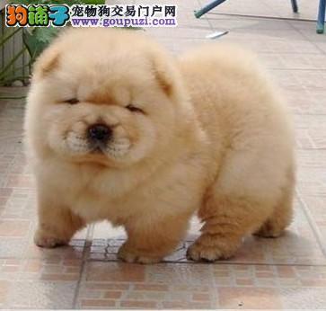 犬舍直销高品质松狮 纯种健康带血统