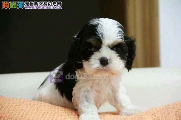 犬舍出售高贵可卡犬、保证纯种、健康、指导饲养幼犬4