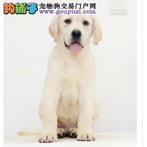 犬舍直销健康纯种高品质拉布拉多幼犬 多只可选1