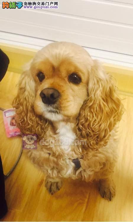 犬舍出售高贵可卡犬、保证纯种、健康、指导饲养幼犬3
