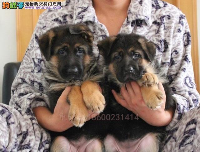 精品赛级血统宠物狗 德国牧羊犬 德牧纯种幼犬3