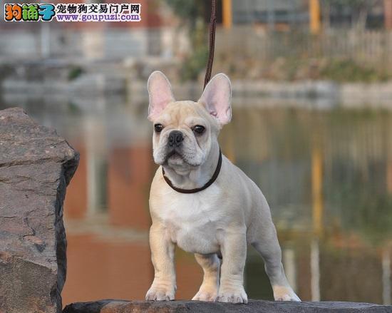 北京犬舍繁殖纯种法国斗牛犬 赛级双血统斗牛犬3