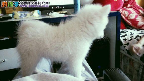 犬舍出售高品质银狐带血统 终身质保 质量三包