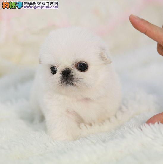 繁殖基地出售京巴幼犬 品相好纯种高品质3