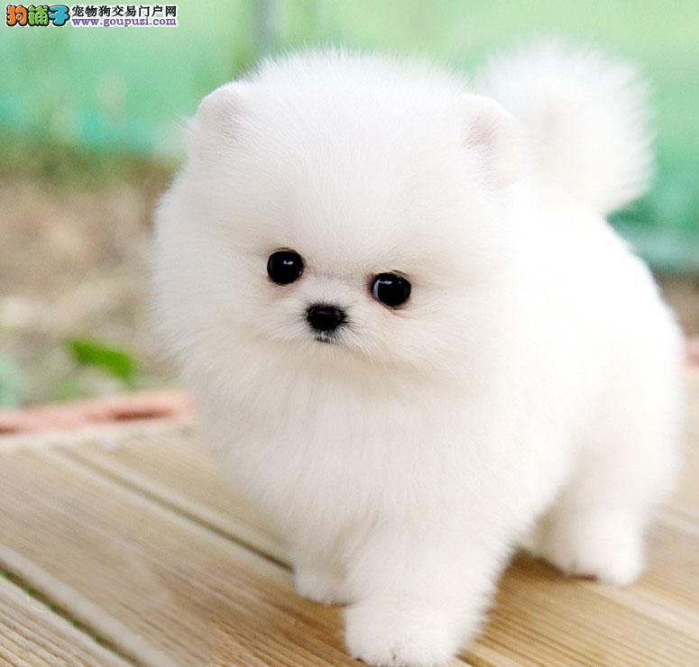 北京茶杯犬顶级韩版小体可爱茶杯泰迪博美茶杯犬