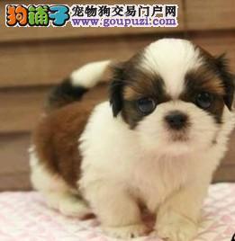 犬舍直销高品质纯种西施犬幼犬 完美售后2