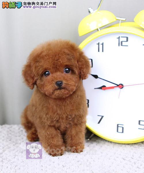 北京最大的泰迪犬基地出售超萌韩系小体泰迪 完美售后4