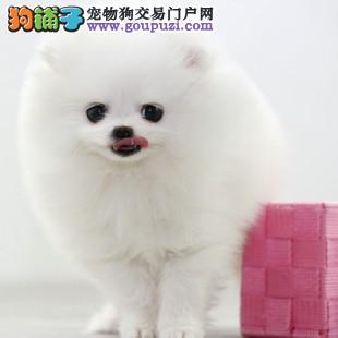 犬舍直销纯种博美幼犬超萌纯种哈多利球形博美幼犬3