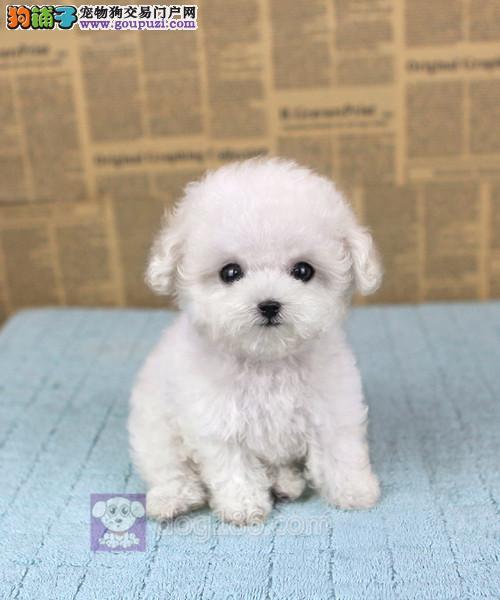 北京最大的泰迪犬基地出售超萌韩系小体泰迪 完美售后3