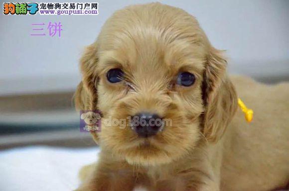 犬舍出售高贵可卡犬、保证纯种、健康、指导饲养幼犬2