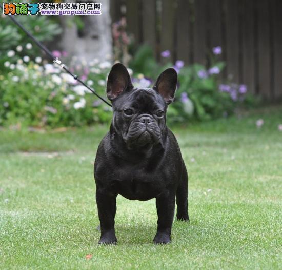 北京犬舍繁殖纯种法国斗牛犬 赛级双血统斗牛犬2