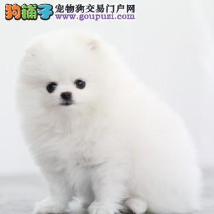 犬舍直销纯种博美幼犬超萌纯种哈多利球形博美幼犬1