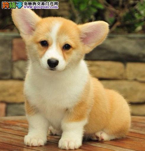 犬舍直销 高品质纯种威尔士柯基犬幼犬宠物狗出售2