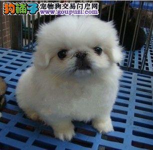 繁殖基地出售京巴幼犬 品相好纯种高品质1