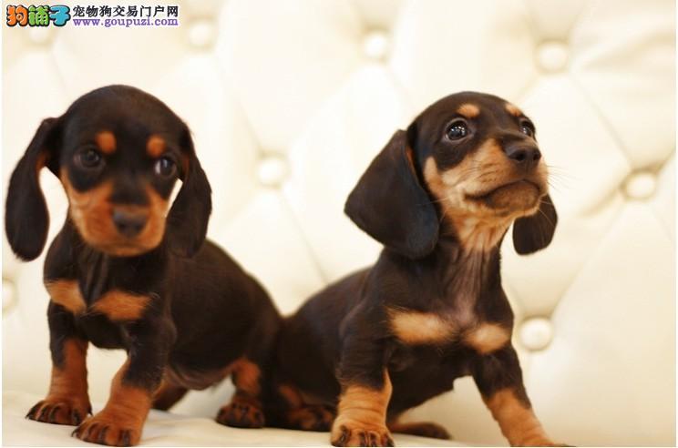 出售纯种腊肠犬 犬舍繁殖保证健康1