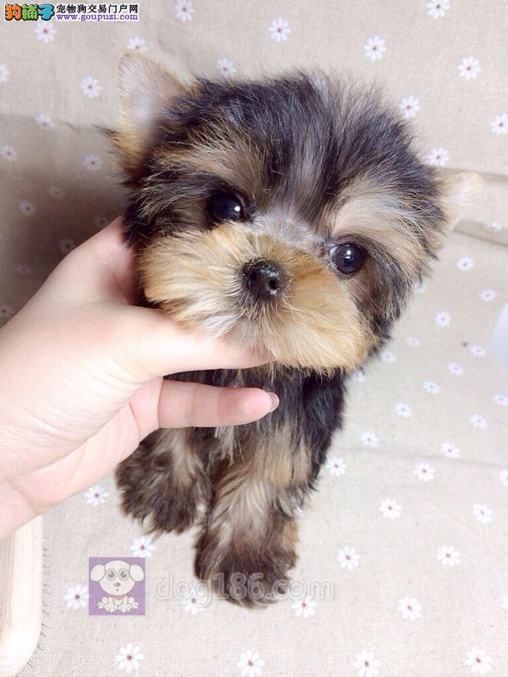 诚信哪里有卖韩版超小体约克夏幼犬 高品质纯种健康约克夏