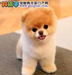 北京茶杯犬顶级韩版小体可爱茶杯泰迪博美茶杯犬1