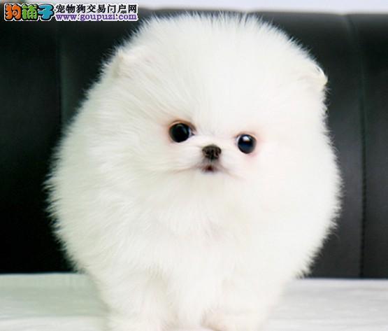 犬舍直销纯种博美幼犬超萌纯种哈多利球形博美幼犬2