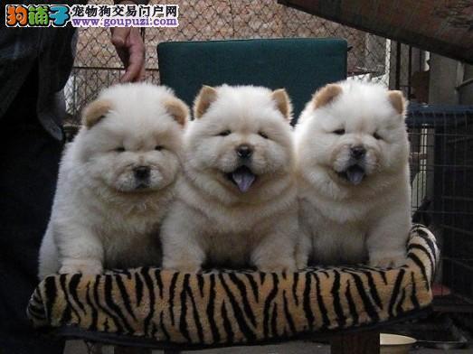 专业养殖基地售卖可爱犬售后保证松狮犬