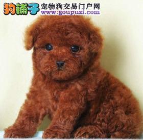 湖北出售红色泰迪幼犬一窝保健康保质量包养活