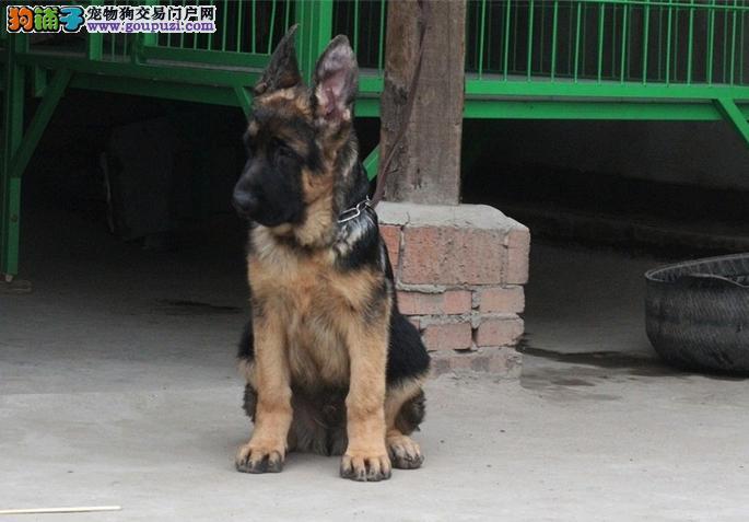 狼狗一窝 自家饲养的 疫苗齐全