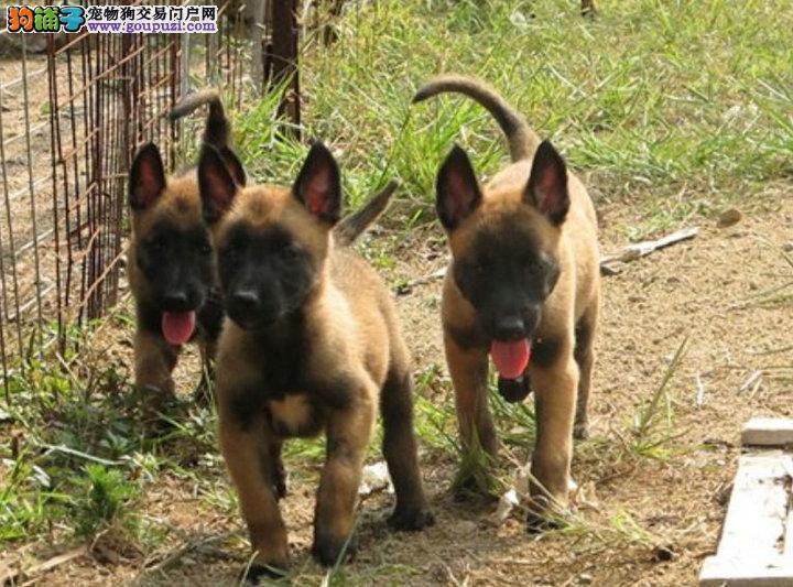 精品马犬,保纯种健康,双血统兴奋度高,撕咬能力强
