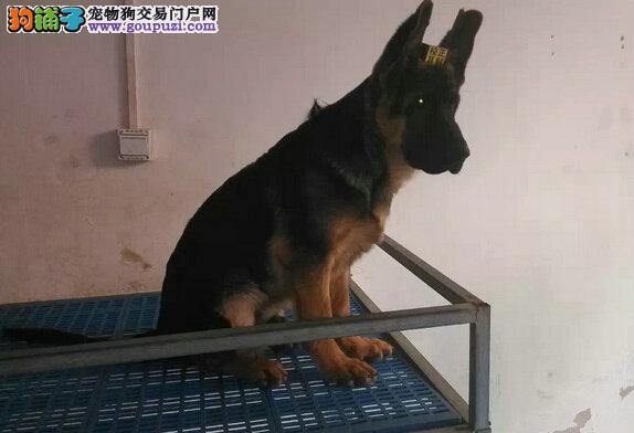 最好的看家能手 德国牧羊犬是很忠厚凶猛 黑背德牧