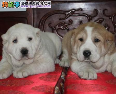 包纯种保健康中亚牧羊犬热卖中包养活签协议