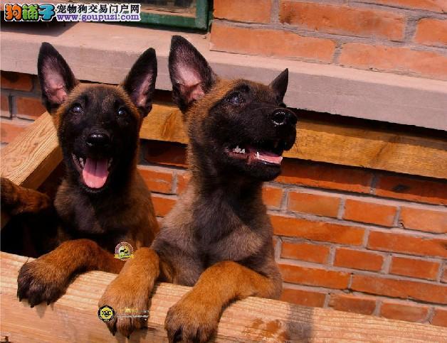 纯种高品质马犬幼犬疫苗驱虫全比利时马犬市售