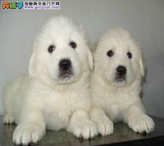 极品 宠物犬 大白熊犬 幼犬出售欢迎上门看实物