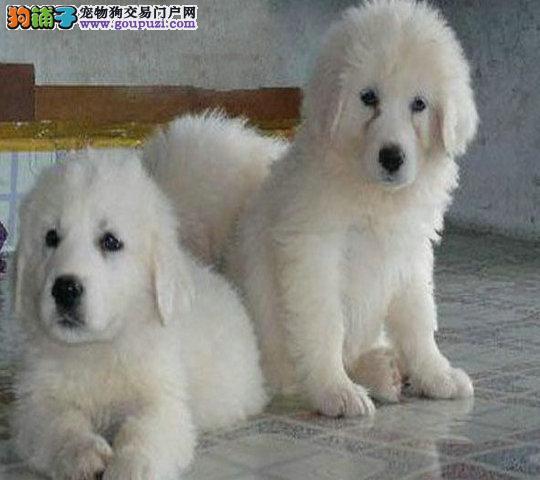 大白熊犬缩略图