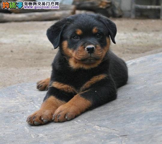 成都出售纯种极品罗威纳幼犬狗狗父母血统包健康品质