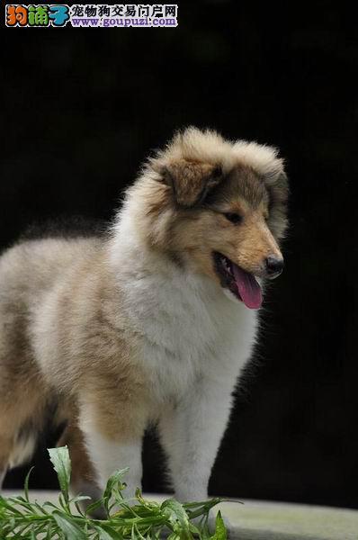 三年联保终身保纯种苏格兰牧羊犬签协议
