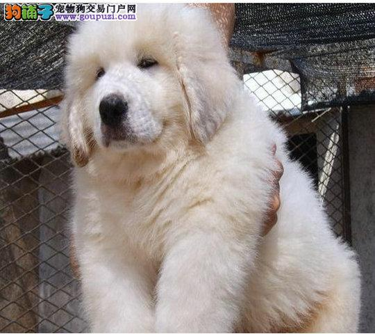 雪兽系赛级大白熊幼犬 骨骼大 毛质好 幼犬