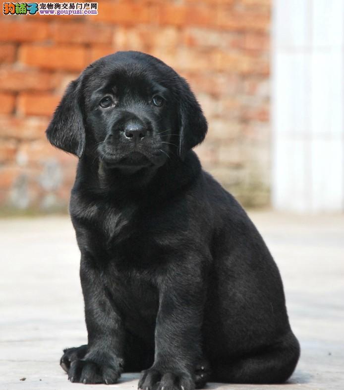 纯种包健康 拉布拉多犬,签协议保障终身颜色多选