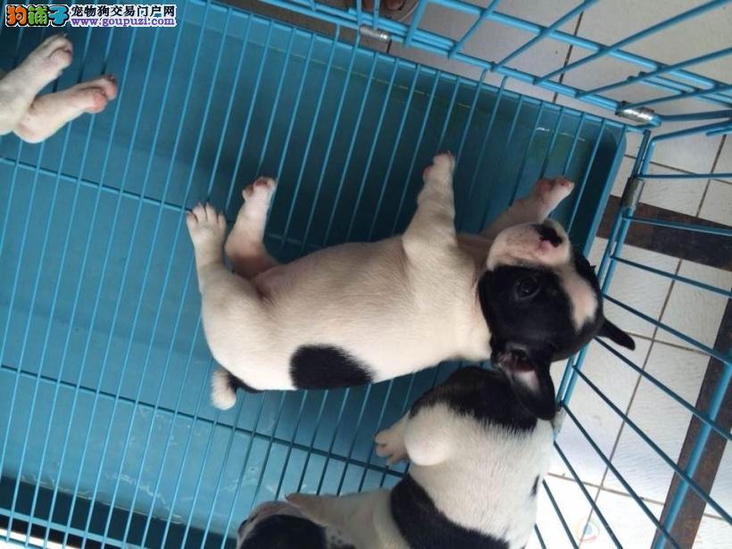 犬舍直销一英国法国斗牛犬一签协议包养活三个月可