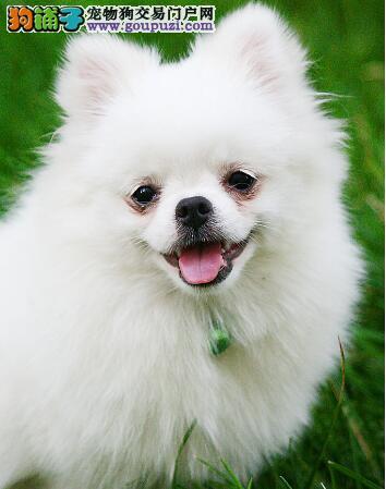 博美犬那带着知性和活泼的性格