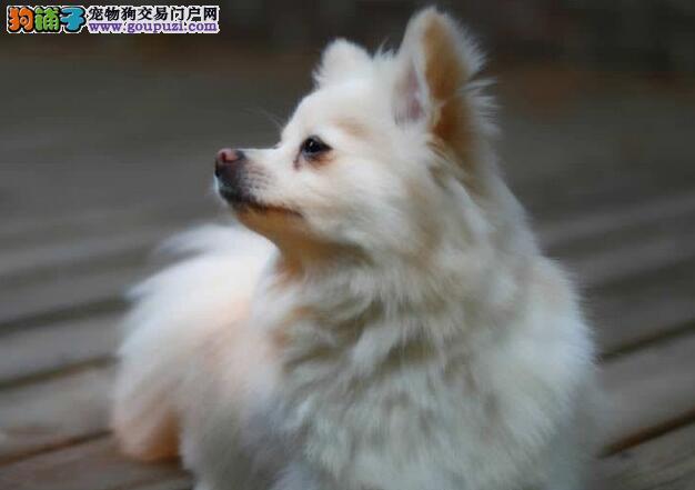 介绍博美犬特征和博美犬智商