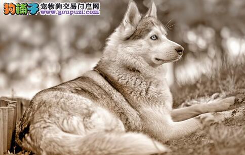 狼狗怎么挑选?选购狼狗品种要看什么?
